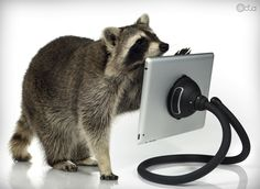 Raccoon with an iPad and a TabletTail: Monkey Kit