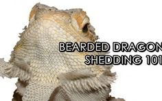 Bearded Dragon Shedding: What You Need To Know