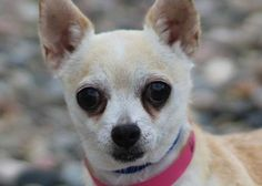 Adopt Jade, a lovely 9 years  1 month Dog available for adoption at Petango.com.  Jade is a Chihuahua, Short Coat and is available at the National Mill Dog Rescue in Colorado Springs, Co. www.milldogrescue... #adoptdontshop #puppymilldog #rescue #adoptyourfriendtoday