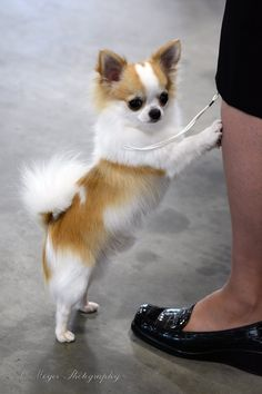 Chihuahua-pick me up mom...pick me up before the Rott gets here! #chihuahua #chihuahuatypes #chihuahuadogs                                                                                                                                                      More