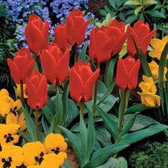 Tulip Daylight - March 8-10cm deep