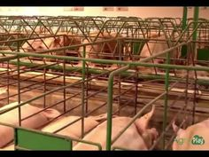 Cría de Cerdos Avances en la Porcicultura- TvAgro por Juan Gonzalo Angel