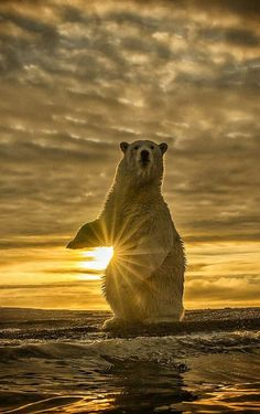 Ever wonder why bears spend so much time standing up?