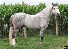 Criollo - stallion Carbonero Sincerro