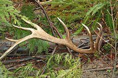 elk antler sheds | Western Outdoors: Four Essentials of Elk Antler Shed Hunting