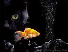 Black Cat N Gold Fish
