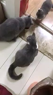 When daddy cat wants a can~~ - funny pets' videos - Cute cat Funny Animal Memes, Funny Cat Videos, Funny Animal Pictures, Cat Memes, Funny Cute Cats, Cute Funny Animals, Cute Baby Animals, Animals And Pets, Gato Gif