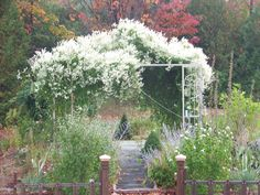 Gazebo in the fall...covered with Silver Lace Vine.