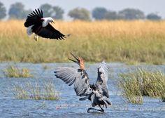 Photo by J. Chobe National Park, National Parks, Bird Species, Heron, Bald Eagle, Woodland, Safari, Photographs, Wildlife
