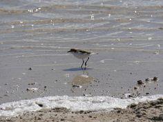 Australian Wildlife - a wader on the shore of Lake Thetis, Cervantes WA Australia Western Australia, Perth, Wildlife, Bird, Birds