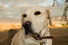 Suelen huir de casa. Si tienes un Labrador retriever, vigílalo de cerca. Según un estudio llevado adelante en 2016 por la ONG de mascotas Blue Cross, esta es la raza que más tiende a escaparse, según recoge el periódico The Telegraph. - Foto: flickr.com/photos/redsea_eilat/2081765348/sizes/l