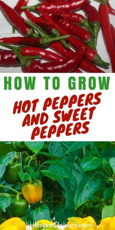 GROWING HOT PEPPERS AND SWEET PEPPERS: It's a lot of fun to grow hot peppers and sweet peppers in the garden. They grow the same way, you just have to decide if you like sweet peppers or hot peppers better. You can grow both if you like. We mostly grow hot peppers at little sprouts.