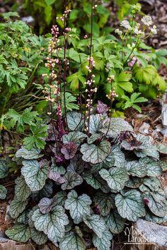 Foamy Bells 'Heart of Darkness' (Heucherella alba)