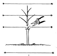 Guide For Espaliering - Fruit Trees Online from Bay Laurel Nursery, Basic Guide For Espaliering - Fruit Trees Online from Bay Laurel Nursery, Basic Guide For Espaliering - Fruit Trees Online from Bay Laurel Nursery, Dragon Fruit Tree, Fruit Tree Garden, Fruit Plants, Growing Fruit Trees, Growing Herbs, Garden Care, Fruit Quotes, Espalier Fruit Trees, Apricot Tree