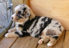 Mini Australian shepherd - Blue Merle puppy, how adorable! Animals And Pets, Baby Animals, Funny Animals, Cute Animals, Animal Babies, Cute Puppies, Cute Dogs, Dogs And Puppies, Doggies