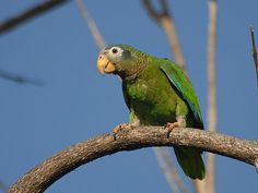 Jamaican Yellow Billed Parrot (Amazona collaria).  Photo by Jamdowner, on Flickr