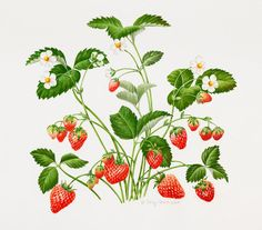 Strawberry Plant Painting - Strawberry Plant by Sally Crosthwaite Strawberry Bush, Strawberry Drawing, Strawberry Tattoo, Strawberry Plants, Bush Drawing, Vine Drawing, Plant Drawing, Plant Painting, Plant Art