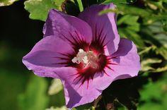 Hibiscus, Les fleurs - Philippe Chailland - MonSitePhotos