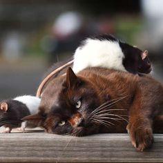 Conoce a 'Josh', el gato que es amigo de 'Mickey' y 'Minnie'