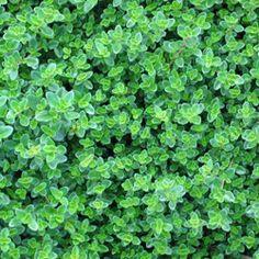 Creeping thyme, as a ground cover to surround the path. Thyme Plant, Creeping Thyme, Ground Cover Plants, Lemon Balm, Growing Herbs, Edible Garden, Medicinal Plants, Garden Inspiration, Gardens