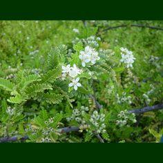 'ūlei, u'ulei, eluehe (Molokai): fruit makes lavender dye