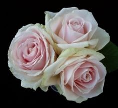 Sweet Avalanche+ by Peterkort Roses. This new pink rose is pale with some green on the outer petals. Phlox Flowers, Blush Flowers, Sugar Flowers, Pink Roses, Bulk Wedding Flowers, Rose Wedding, Wholesale Roses, Flower Identification, Types Of Flowers