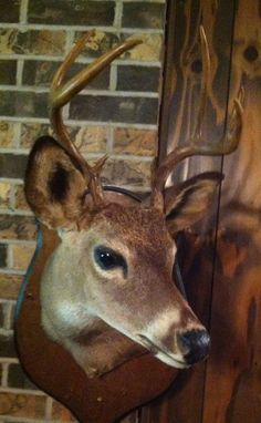7 Point White Tail Deer Shoulder Mount - Taxidermy Cabin Hunting Home Decor | eBay