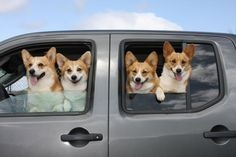 It's a corgi roadtrip and you've been invited. http://sulia.com/my_thoughts/c4c9cf1f-82ff-4129-a99e-1a706a63d189/?source=pin&action=share&btn=big&form_factor=desktop
