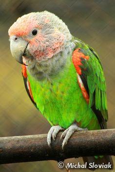 Poicephalus robustus fuscicollis - Un-cape Parrot
