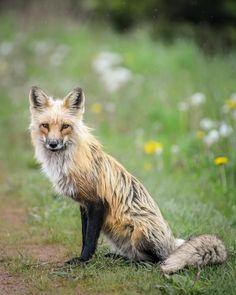 """287 Me gusta, 5 comentarios - Mario Carvajal (@mariocarvajal) en Instagram: """"¡Domesticame! #zorro #pei #canada #fox #littleprince #principito #wild"""""""