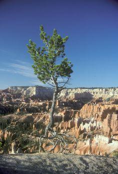 Bryce Canyon tree, Utah