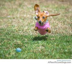 pink dachshund heading for a blue ball