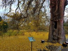 The fallen leaves of Ginkgo biloba form a beautiful yellow carpet under the tree.