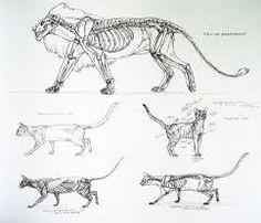 A wicked fuck-ton of feline anatomy references. Cat Anatomy, Animal Anatomy, Anatomy Study, Anatomy Drawing, Anatomy Art, Cat Drawing, Drawing Faces, Drawing People, Drawing Tips