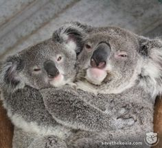 Big squeeze!  Wanna help Koalas for Save The Koala Month? Head to our timeline and find the event! At the Australia Koala Foundation