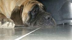 Gail my lovley mastiff
