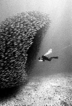 I was snorkeling in Hawaii when I saw a ball of fish like this...there were 3 barracuda hunting. As they swam through the ball, it would part before them and close behind them. Incredible to watch!