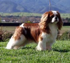 Cavalier King Charles Spani http://www.mascotadomestica.com/razas-perros/cavalier-king-charles-spani.html