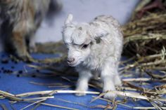 These Cute Photos Of Baby Animals Will Surely Make Your Day - Cute animals Baby Animals Pictures, Cute Baby Animals, Funny Animals, Wild Animals, So Cute Baby, Cute Photos, Cute Pictures, Goat Picture, Animal Tracks
