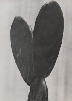 "Tina Modotti. Cactus. 1925. Gelatin silver print. 9 1/16 x 6 5/8"" (23.1 x 16.8 cm). Anonymous gift. 335.1965. Photography"