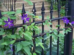 Purple climatis climbing on a black wrought iron fence.