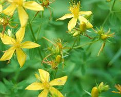The best and cheapest of the vast majority of herbal remedies out there seems to be St John's Wort. After researching, this is the most popular herbal antidepressant and very reasonably priced for a natural remedy for depression. This is also readily available over the counter and does not cost the earth.