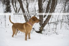 Fresh Snow in Wisconsin | Balsam Branch Kennel | Wisconsin | Manac | Outdoors | Dogs | Fox Red Labrador | balsam-branch-kennel-fox-red-lab-manac-snow-day-1