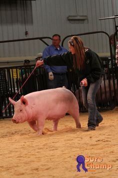Livestock Farming, Pig Farming, Guinea Pig Care, Guinea Pigs, Raza Yorkshire, Pig Showing, Pig Breeds, Raising Farm Animals, Pig Pen