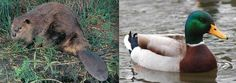 5. DUCK + BEAVER = PLATYPUS.  Read the full text here: http://mentalfloss.com/article/23566/6-animals-show-mother-natures-sense-humor#ixzz2VZW2fyMd  --brought to you by mental_floss!