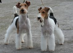 WIRE-HAIRED FOX TERRIER Wire Haired Terrier, Wire Fox Terrier, Wirehaired Fox Terrier, Smooth Fox Terriers, Lakeland Terrier, Raining Cats And Dogs, Little Dogs, Scottie, Mans Best Friend