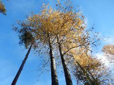 Kaunis ihana auringonpaiste ja haapapuut