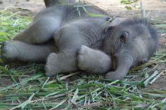 Baby elephant<3