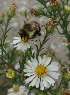 Bungle bee on New York asters I Love Bees, Birds And The Bees, Beautiful Creatures, Animals Beautiful, Cute Animals, Bees And Wasps, Beautiful Bugs, Cute Bee, Bee Art