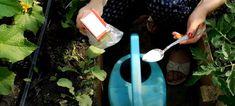 Bicarbonat de sodiu – salvatorul grădinii dumneavoastră! Bicarbonatul este un îngrășământ pentru castraveți, tomate și alte culturi! - Pentru Ea Gardening, Sun, Plant, Lawn And Garden, Horticulture